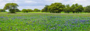 texas-blue-bonnets