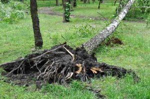 tree-root